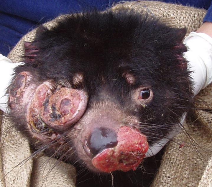 Tasmanian Devil Facial Tumour 92